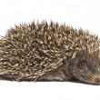 Small hedgehog — Stock Photo #1335648