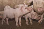 Pequeno porco — Fotografia Stock