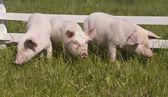 Малых свиней — Стоковое фото