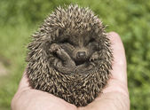 Small hedgehog — Foto Stock