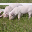 Small pigs — Stock Photo #1350435