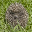 Small hedgehog in a grass — Stock Photo