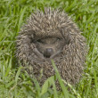 Small hedgehog in a grass — Stock Photo #1351380