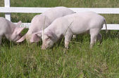 Small pigs — Stock Photo