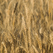 Golden wheat ready for harvest growing i — Stock Photo #1112930