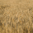 Golden wheat ready for harvest growing i — Stock Photo