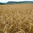 Royalty-Free Stock Photo: Wheaten field