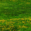 Lawn with dandelions — Stockfoto