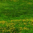 Lawn with dandelions — Stock fotografie