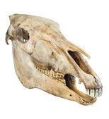 Skull of a horse — Stock Photo