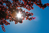 Sun light and red leaves — Stock Photo