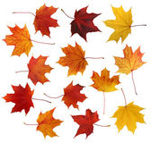 Maple leafs — Stock Photo