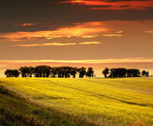Rape Seed Field on a sunset — Stock Photo