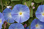 Morning Glory blooms — Stock Photo