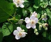 White blackberry blossoms — Stock Photo