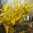 Stock Photo: Forsythia