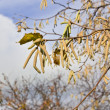 Hazelnut catkin — Stock Photo