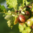 Ripe gooseberries on the branch — Stock Photo