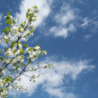 Blossoming cherry tree branch under blue - Stock Photo