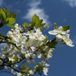 Closeup image of cherry flowers over blu - Stock Photo