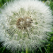 Dandelion — Stock Photo #1173304