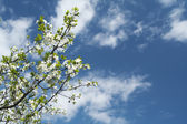 Blossoming cherry tree branch under blue — Stock Photo