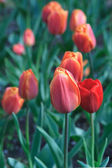 Closeup image of red tulip — Stock Photo