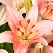 Beautiful pink lily with rain drops — Stock Photo