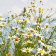 White daisies on blue sky background — Stock Photo #1194670