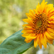 Beautiful sunflower in the sunlight — Stock Photo