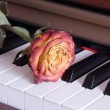Rose on piano keys — Stock Photo