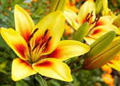 Yellow-red beautiful lily in a garden — Stock Photo