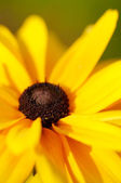 Closeup of yellow black-eyed susan flowe — Stock Photo