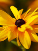 Macro shot of yellow rudbeckia. Shallow — Stock Photo