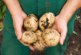 Mans hands holding fresh dug potatoes — Stock Photo