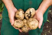 Mans hands holding fresh dug potatoes — Stock Photo