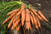 Fresh dug carrots — Stock Photo