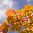 Yellow maple leaves on blue sky with clo — Stock Photo