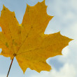 Yellow maple leaf on blue sky background — Stock Photo #1240086