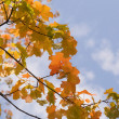 Yellow maple leaves on blue sky backgrou — Stock Photo