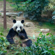 Giant panda in Ocean Park, Hong Kong - Stock Photo