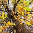 Autumnal oak under blue sky — Stock Photo