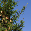 Stock Photo: Firtree with cones