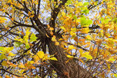 Autumnal oak under blue sky — Stockfoto
