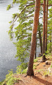 Pinetrees on lakeside in summer — Stock Photo