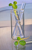 Leaf buds in test-tube — Stock Photo