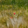 Stock Photo: Red poppy in wheat