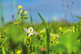 Camomile in grass and blue sky with clou — Stock Photo