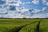 Wheat green field and sky — Stock Photo