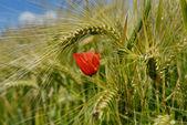 Red poppy in wheat — Stock Photo